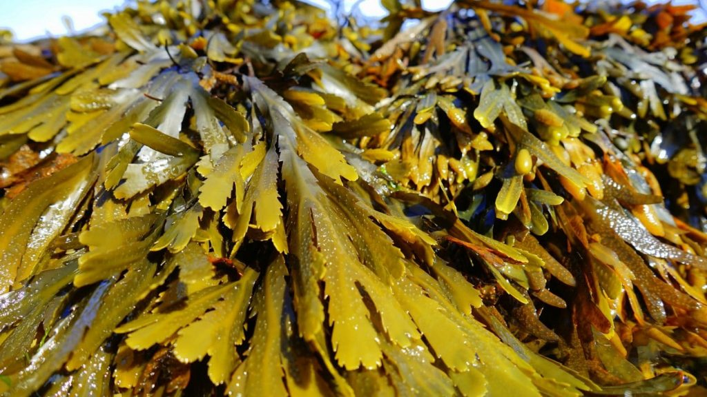 Fucus vesiculosus changes its thickness and mechanical properties